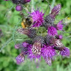 Cirsium palustre. Marsh Thistle
