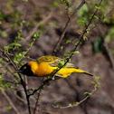 Papyrus Flycatcher-warbler