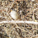 White-Crowned Sparrow (Pacific)