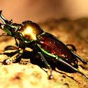 Rainbow Stag Beetle ( Male )