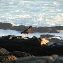 African (Black) Oystercatcher