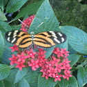 Ismenius Tiger Butterfly