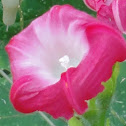 Common Morning Glory