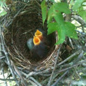 Mocking bird chicks