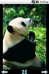 Cute Panda Photography - screenshot thumbnail