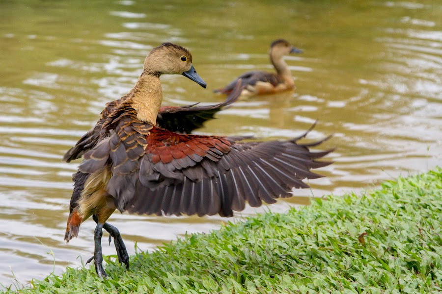Lesser Whistling Duck by Tong Ter Liang - Animals Birds ( bird, lesser whistling duck, nature )