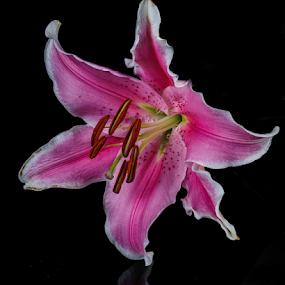 Lilly by Cristobal Garciaferro Rubio - Flowers Single Flower