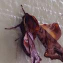 Huckleberry-sphinx Moth