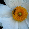 Bee & Matilija Poppy