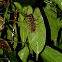 Long-legged centipede
