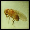 虻(Tabanidae)