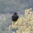 Carrion Crow; Corneja Negra