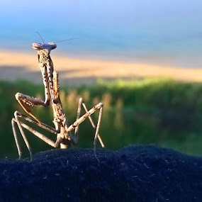 Hi There by Kamila Romanowska - Instagram & Mobile Other ( nature, australia, mantis, insect, sydney )