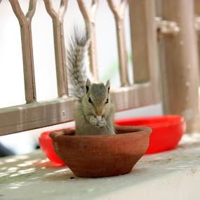 Squirrel in the eating bowl. by Thakkar Mj - Animals Other ( bowl, nature, eating, squirrel, animal,  )