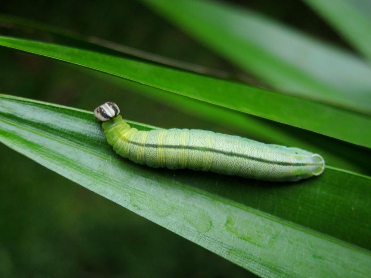 Palm Bob Caterpillar