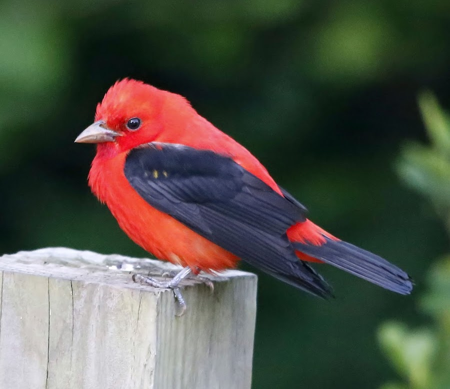Scarlet Tanager by Jim Stough - Animals Birds ( bird, tanager, suddenjim )