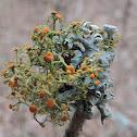 Fruticose Lichen