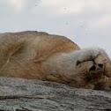 Lion (lioness)