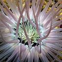Tube Anemone