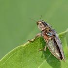 Metallic Wood-boring Beetles