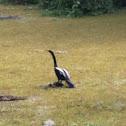 Anhinga-snake bird