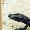Hatchling American Alligator