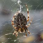 European Garden Spider / Kruisspin