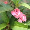 Rose Balsam