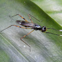Stilt legged fly