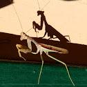 Bordered Praying Mantis, male