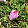 羊蹄甲、印度櫻花
