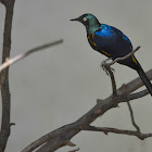 Bird-Golden-Brested Starling
