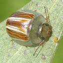 Peltoschema orphana