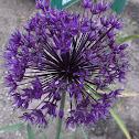 Tall Ornamental Onion