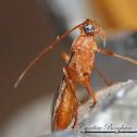 Mummy Wasp