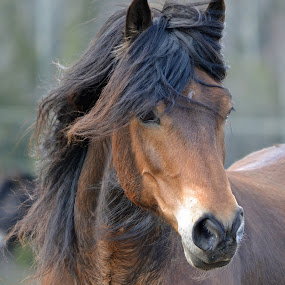 windy weather by Kristin Smestad - Animals Horses ( #showusyourpets, horses, #garyfongpets, animal,  )
