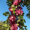 Pink Robinia pseudoacacia