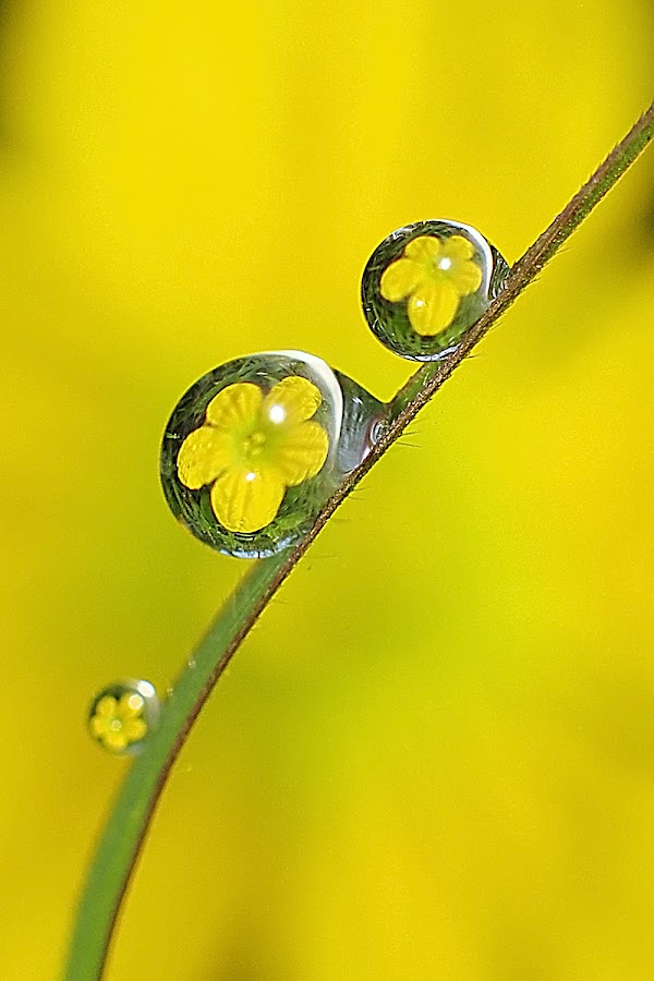flower in dew by Wahyu Budiyanto Toak - Abstract Water Drops & Splashes (  )