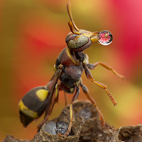 Pre-greeting Chine New Year From Wasp by Carrot Lim - Animals Insects & Spiders