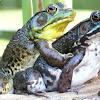 Northern Green Frogs (amplexus)