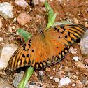 Borboleta-do-maracujá (Agraulis butterfly)