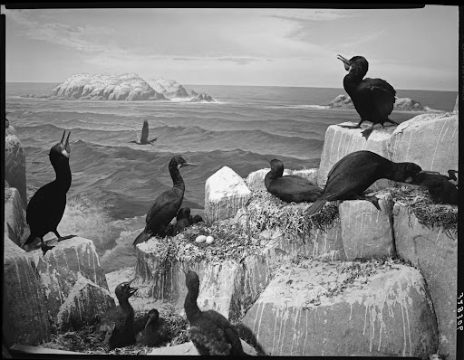 Cormorant Group, North American Bird Hall, 1961