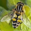 The Footballer Hoverfly
