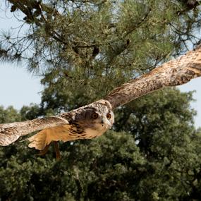 Owl by Alexandre Mestre - Animals Birds ( flight, alentejo, owl, portugal, birds,  )