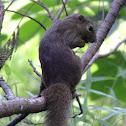 Plantain squirrel