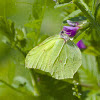 Common Brimestone