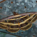 White Banded Noctuid Moth