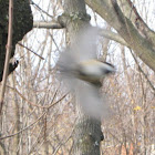Black caped chickadee