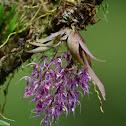 Macroclinium Orchid