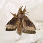 Cup Moth